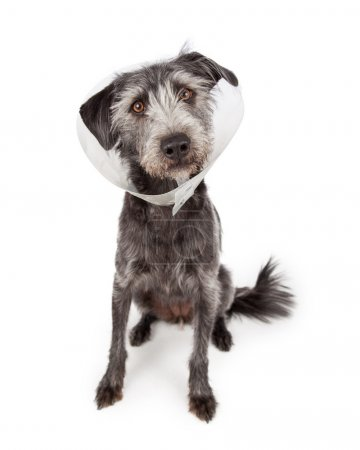 Dog Wearing Medical Cone