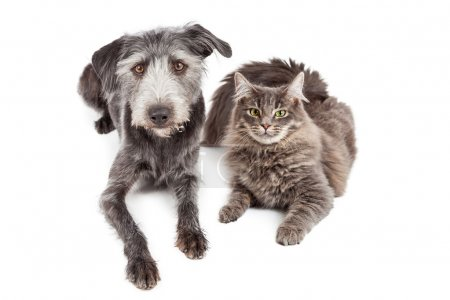 Gray Cat and Crossbreed Dog