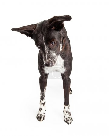 Australian Shepherd Mixed Breed Dog