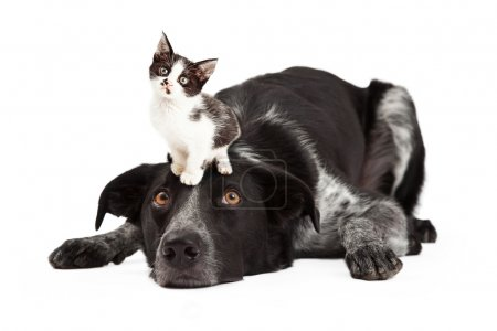 Patient Border Collie With Kitten on Head