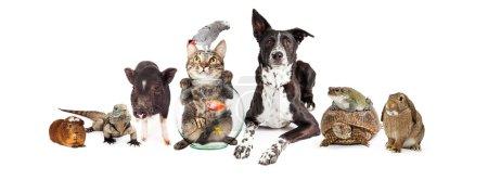 Photo pour Grand groupe d'animaux domestiques communs ensemble - cobaye, iguane, chat, poisson, oiseau, chien, tortue, grenouille et lapin isolés sur fond blanc - image libre de droit
