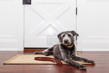 Photo for Mixed breed adult dog laying down in front of front door in home while patiently waiting to go for walk - Royalty Free Image