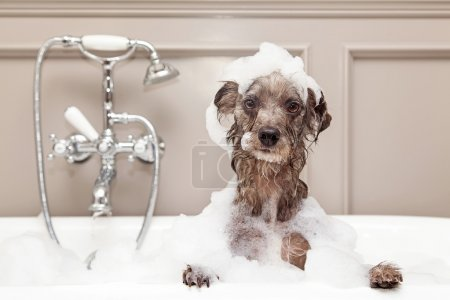 terrier dog taking bubble bath