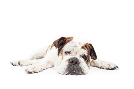 Bulldog breed dog laying down