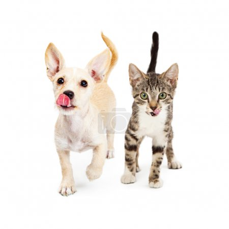 Photo for Cute little small breed puppy and kitten walking forward with their tongues sticking out to lick their lips isolated on white background - Royalty Free Image