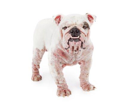 Bulldog with demodectic mange