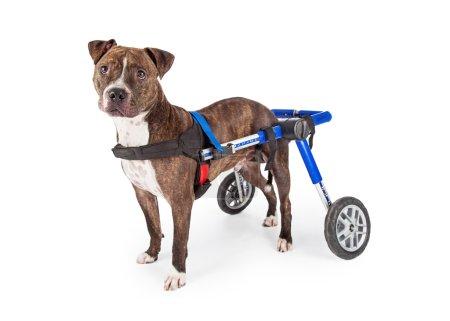 handicapped Staffordshire Bull Terrier Dog