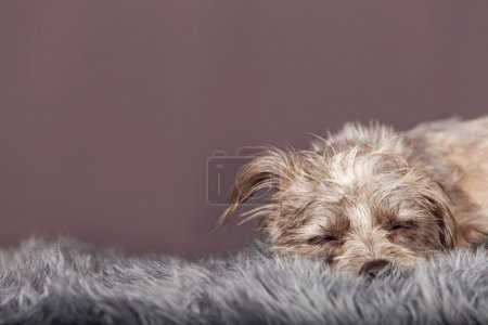 sleeping terrier mixed breed dog