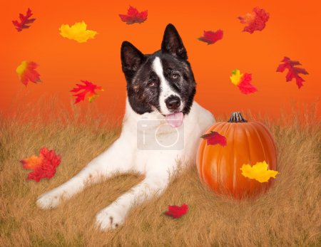 Akita dog with pumpkin
