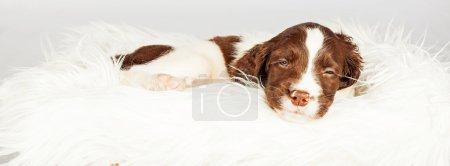 dog sleeping on fur
