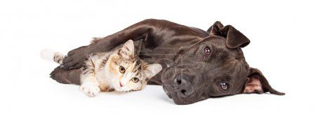 Pit Bull Dog and Kitten
