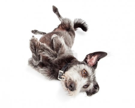Terrier Dog Rolling Over