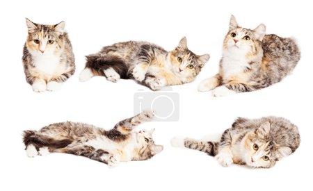 Photo pour L'ensemble des images d'un mignon petit chaton de race de calicot dans différentes positions - image libre de droit