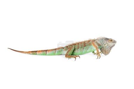 beautiful green iguana
