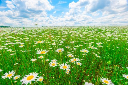 field strewn with daisies and blue sky