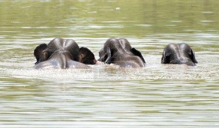 Wild Elephants  in water