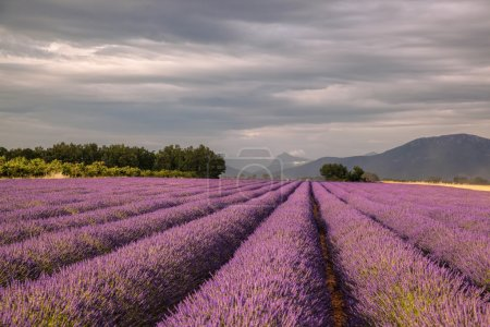 Provence with Lavender field at sunset, Valensole Plateau area in south of France