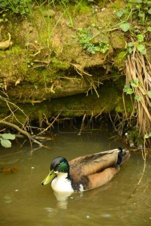 Photo pour Canards sont dans la nage rver - image libre de droit