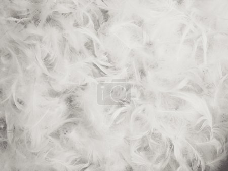 Photo for Chicken feather background - Royalty Free Image