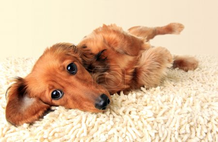 Longhair dachshund puppy
