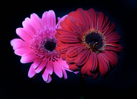 Photo for Beautiful gerbera flowers on dark background , close view - Royalty Free Image