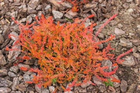 Photo pour Buisson de cultivar de bruyère décoratif avec des feuilles rouges sur un fond flou de sol dans le jardin botanique, vue de dessus - image libre de droit