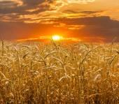 Pšeničné pole na pozadí zapadajícího slunce