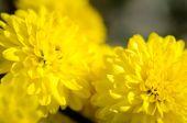 žlutá chryzantéma květy