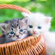 Постер, плакат: Little kittens in basket