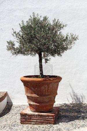 Olive tree in vintage terracotta flowerpot