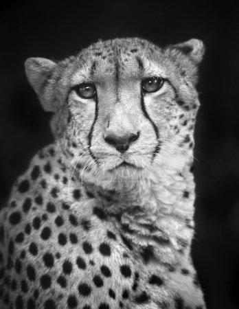 Foto de Black and white closeup face portrait of chetah. Wild beauty of a dangerous beast. Severe big cat with sad eyes. - Imagen libre de derechos