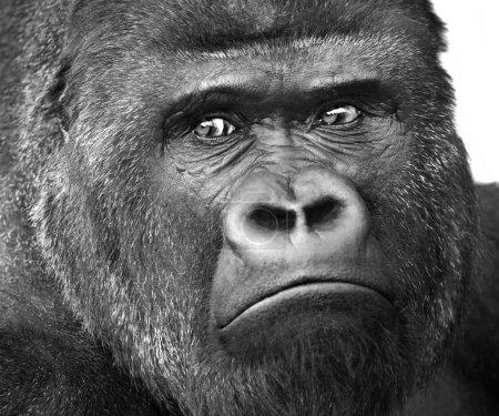 Black and white closeup portrait of a gorilla male, severe silverback.