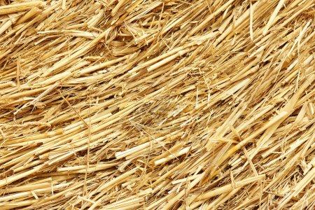 Golden dry hay background