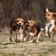 Funny beagle dogs running together in spring...