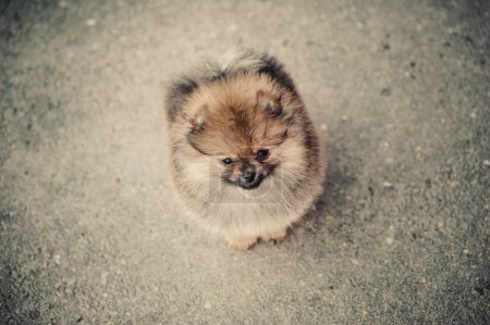 lonely Pomeranian Spitz on the street