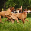 Rhodesian Ridgeback dogs playing together in summe...