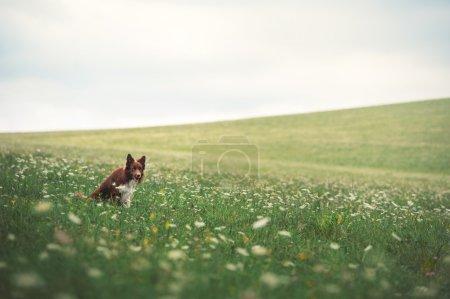 Photo pour Collie frontière rouge chien assis dans une prairie, été - image libre de droit