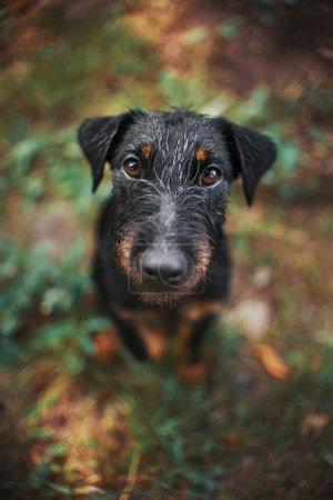 Black terrier dog, portrait close