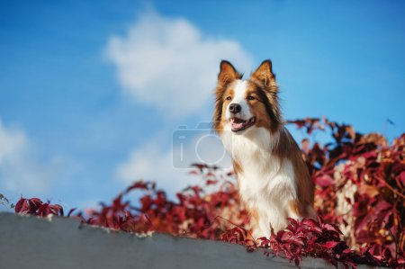 Red Border Collie dog against the sky