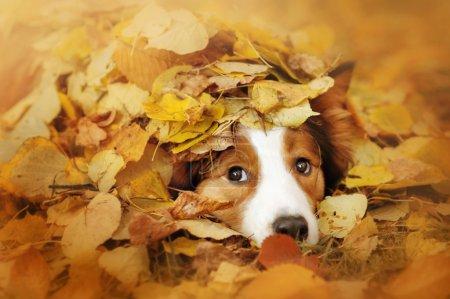 jeune border collie chien jouant avec des feuilles en automne