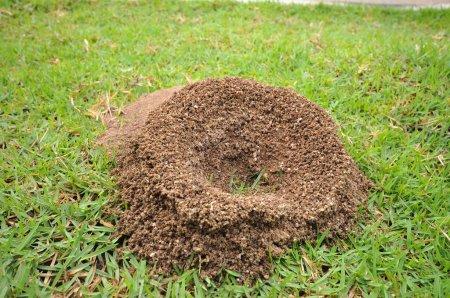 Photo pour Nid de fourmis sur gazon - image libre de droit