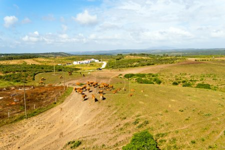 Photo for Aerial from cows in the countryside from Portugal - Royalty Free Image