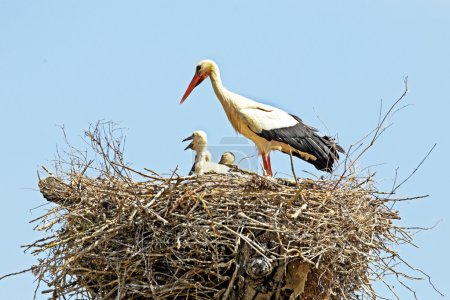 White stork with young baby stork