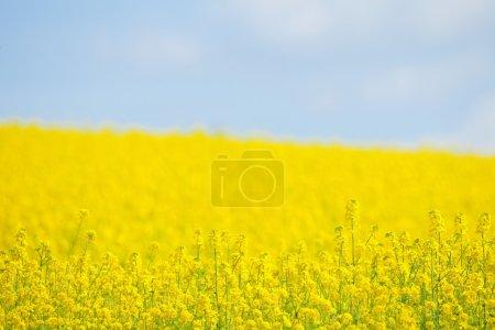 Photo pour Champ de viol jaune avec pissenlits et ciel bleu - image libre de droit