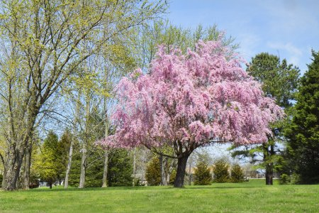 Weeping Willow Tree in Full Bloom, pink flowers