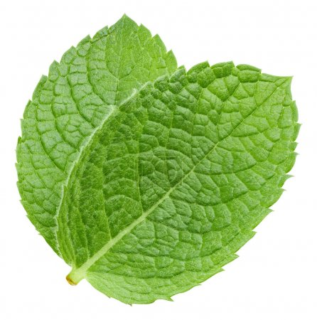 Photo for Fresh mint leaf. Green mint pepper leaf isolated on white. Pepper mint clipping path. Full depth of field - Royalty Free Image