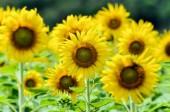 Slunečnice nebo Helianthus Annuus v serverové farmě