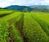 A rizsföldek teraszos a Mu Cang Chai, Yenbai, Vietnam