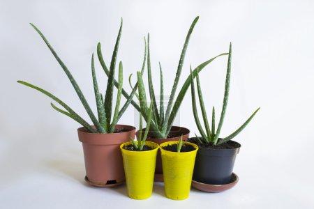 Aloe Vera Plant in pots