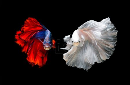 Photo for Colourful Betta fish,Siamese fighting fish in movement isolated on black background. - Royalty Free Image